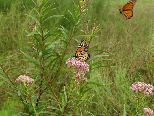 Monarch Butterflies nectaring on Swamp Milkweed. Photo by Peg Urban.
