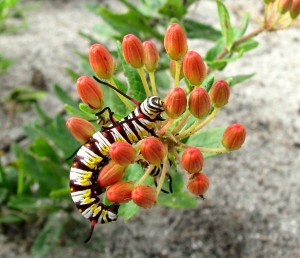 Caterpillar on milkweed flowers
