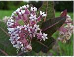Asclepias humistrata, Sandhill Milkweed