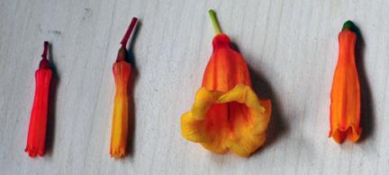 Hamelia flowers (3 species & 1 variety)