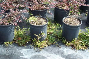 weedy nursery containers