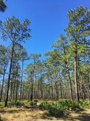 Camp Blanding Florida longleaf pine habitat