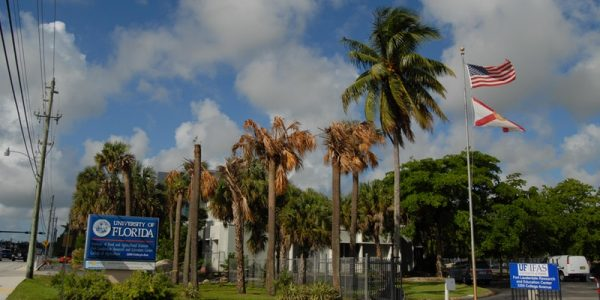 Photo of UF IFAS Fort Lauderdale with palms infected by Texas Phoenix Palm Decline