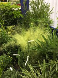 """White Muhlygrass was recognized as a """"cool new product"""" although it's long been used in the native plant industry."""