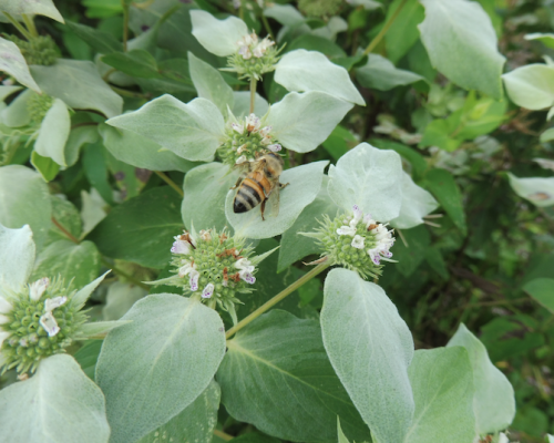Mountain Mint Plant of the Year 2018