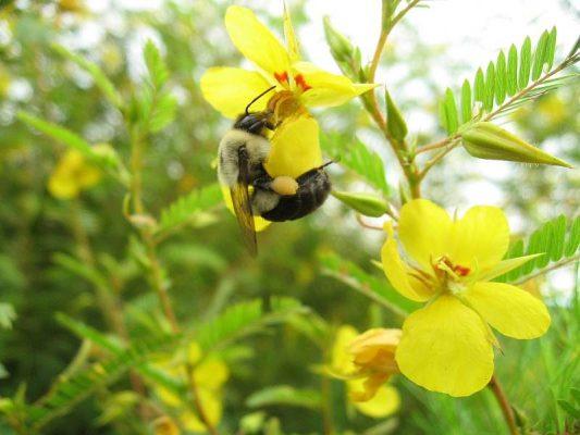 Bumblebee on Partridge Pea Chamaecrista fasciculata by Jaret Daniels