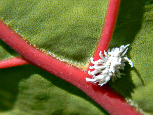 Mealybug Destroyer underneath a Seagrape leaf. Another awesome photo by Bob Peterson.